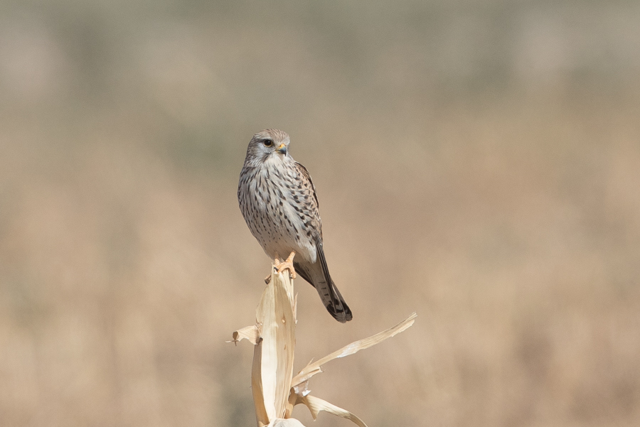 Winter birding – Haradh
