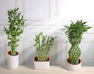 Three Lucky Bamboo plants in white pots