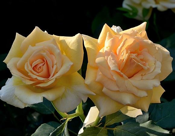 Sophia Renaissanse  сорт розы фото купить саженцы Минск