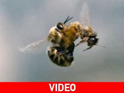 Ντοκιμαντέρ για την ερωτική ζωή των μελισσών video
