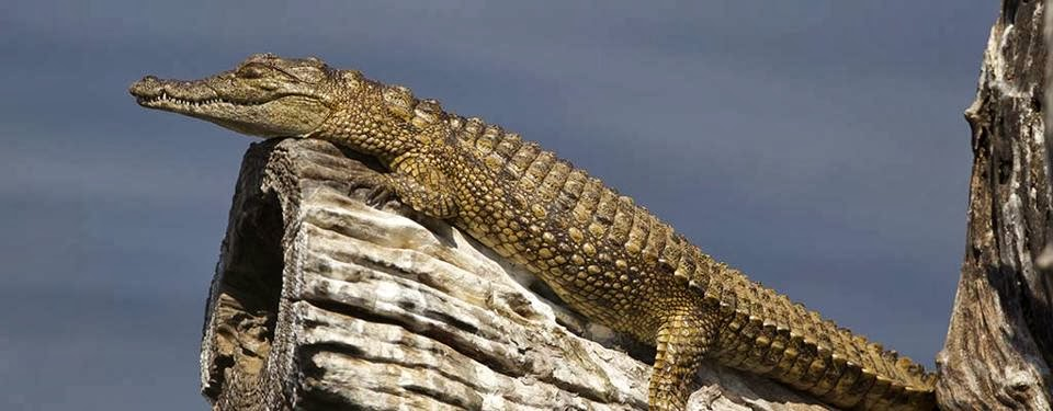 Crocodiles Can Climb Trees The Random Science