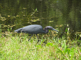 A Little Blue Heron in the Everglades