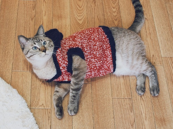 赤とネイビーのフード付きセーターを着て横たわっているシャムトラ猫
