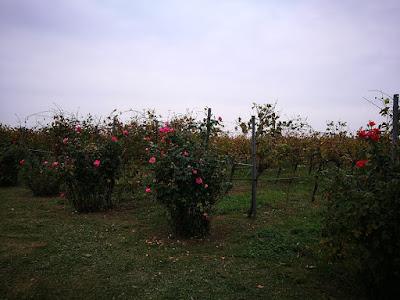 vigne lambrusco bio