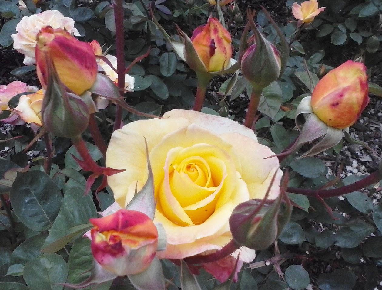 Los Cuidados De Las Rosas En Otoño Portal Jardín Jardín Huerto Y