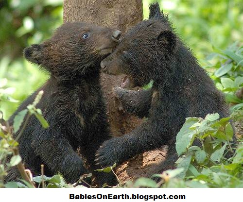 BABIES and Beautiful Mom: baby American Black Bear - photo#26