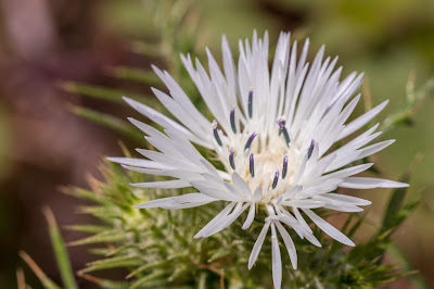[Asteraceae] Galactites sp - macro.