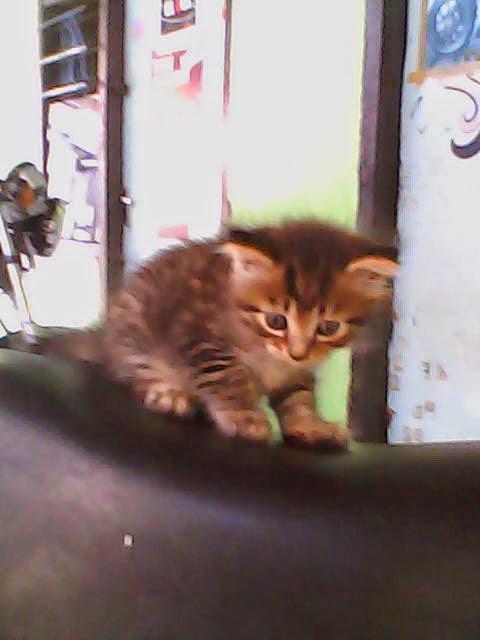 Memandikan Anak Kucing : memandikan, kucing, Memandikan, Kucing, Anggora, Dengan