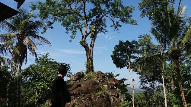 Ajaib, Pohon Besar Berusia Ratusan Tahun Tumbuh di Atas Batuan Purba di Kebumen