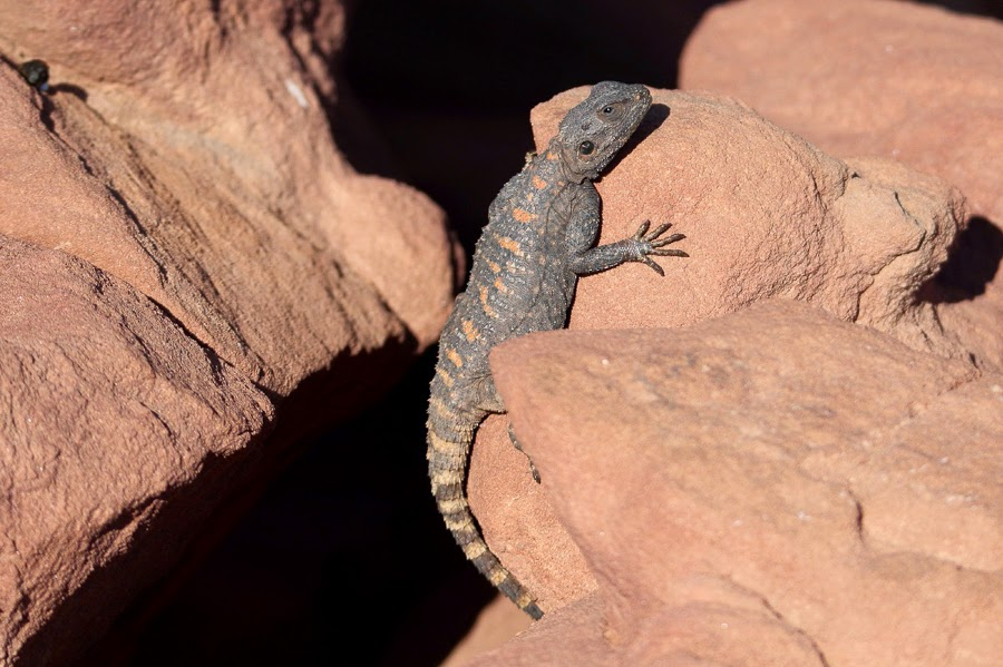 Roughtail Rock Agama