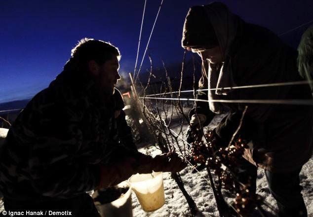 icewine eiswein wino lodowe
