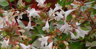 Abelia blooms