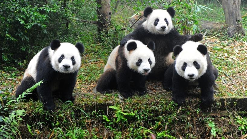 The Giant Panda An International Symbol Of Wildlife Conservation