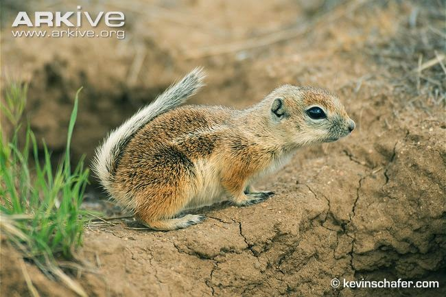 Nelson´s antelope Squirrel