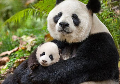 Panda - Animals That Start With P