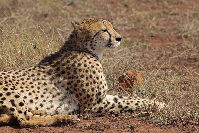 Gepard in Phinda