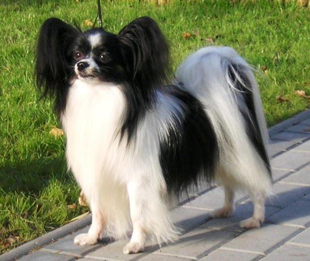 Giống chó Papillon