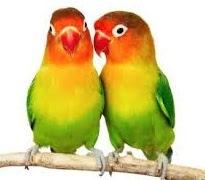 Cara Mudah Ternak Burung Love Bird dengan Baik dan Benar