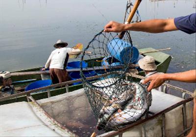 Bisnis Budidaya Ikan Patin