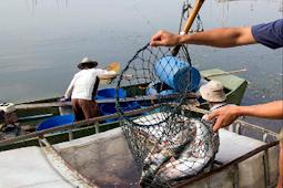 Prospek Budidaya Patin Ikan Yang Bercita Rasa Tinggi