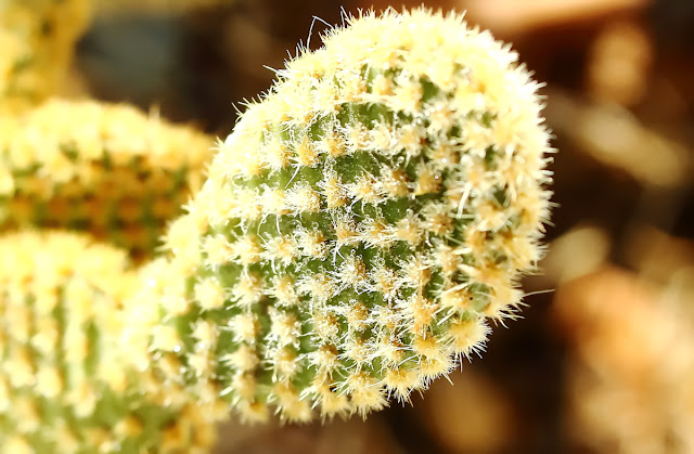 A close-up image of Opuntia microdasys. Commonly named white polka-dot cactus