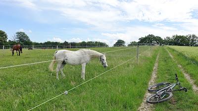 Weisses Pferd begutachtet das Mountainbike