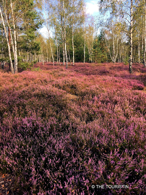Birch tree stems in a thick sea of purple heath.
