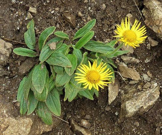 Omieg kozłowiec (Doronicum clusii (All.) Tausch).