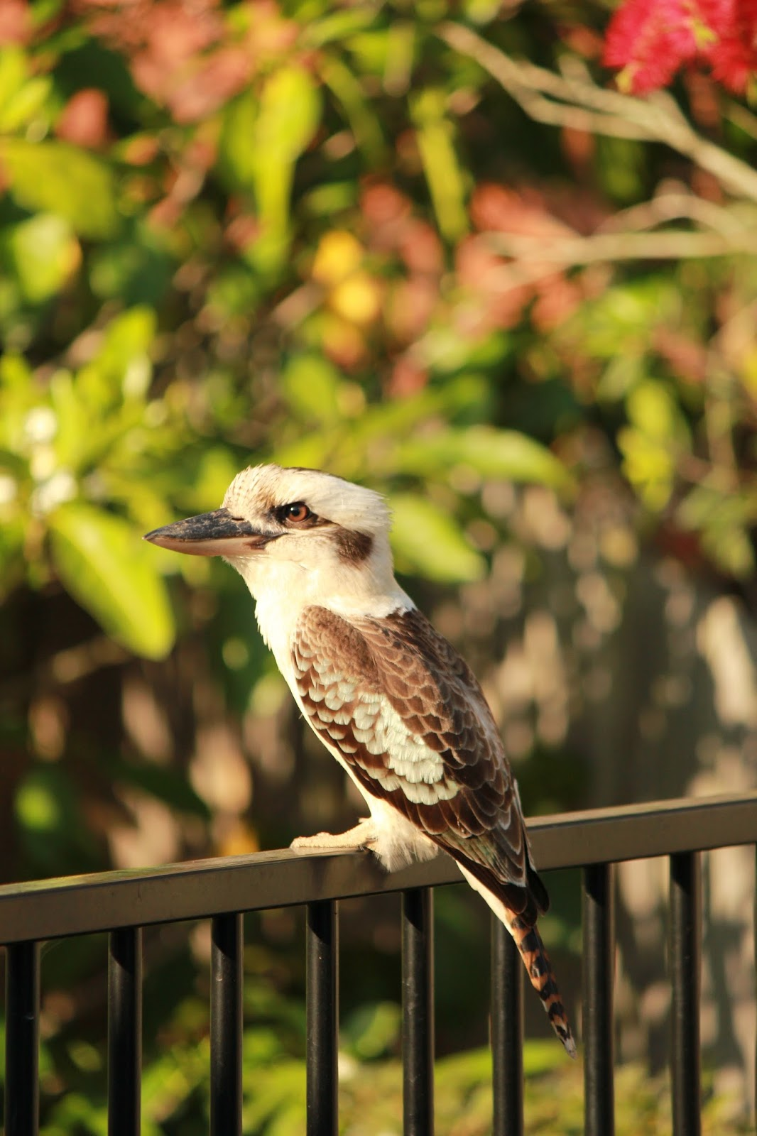 Picture of kookaburra bird at a park.