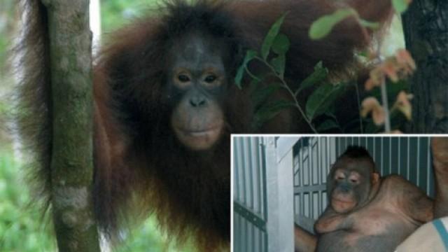 recuperação de orangotango fêmea que sofria abusos sexuais