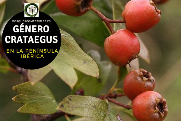 Lista del Género Crataegus, familia Rosaceae en la Península Ibérica