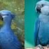Ararinha-azul do filme 'Rio' agora está oficialmente extinta!