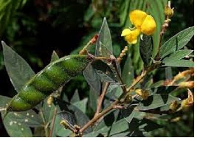 Tanaman polong - polongan (leguminoceae) - pustakapengetahuan.com