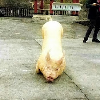 holy pig seen kneeling before the Buddhist temple as the monks chant religious scripts to the holy animal via geniushowto.blogspot.com rare animal pictures