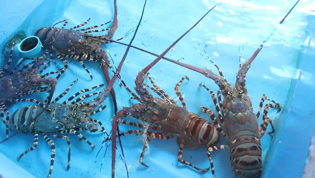 Berbudidaya Sukses Lewat Lobster Air Tawar, Omsetnya Sampai Rambah Seluruh Dunia