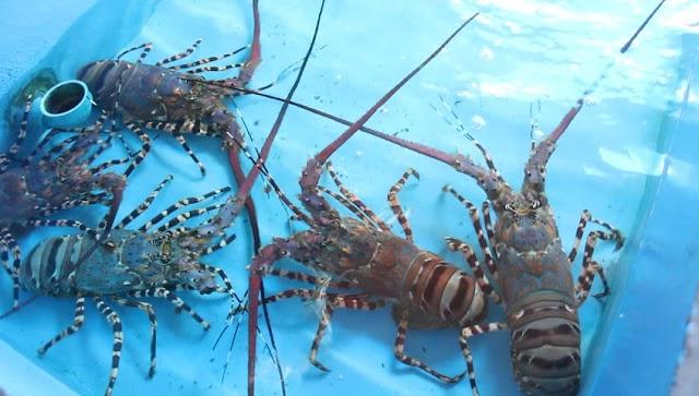 Berbudidaya Sukses Lewat Lobster Air Tawar, Omsetnya Hingga Rambah Seluruh Dunia