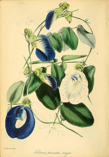 Tajska niebieska herbata z kwiatów Butterfly pea (Klitoria ternateńska- Clitoria ternatea). Jak wygląda roślina, opis, jak zaparzyć i pić, przepisy, właściwości, efekty, zdrowie, przeciwwskazania, smak. Dziwne ciekawe rośliny użytkowe.