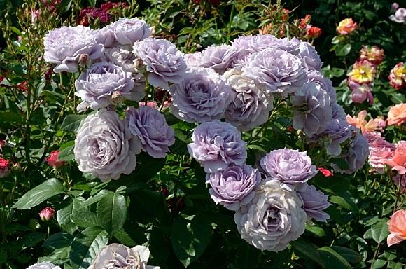 Novalis сорт розы фото