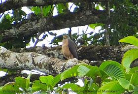 Birdwatching tour in Manokwari of West Papua