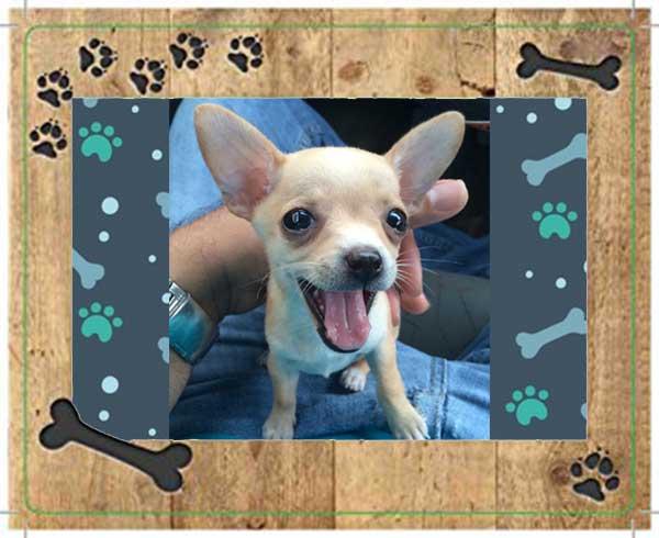 Chihuahua de bolsillo - Morita
