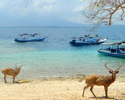 Tinuku.ciom Travel West Bali National Park watching magnificent Jalak Bali birds, deer herd and wall diving in Menjangan island