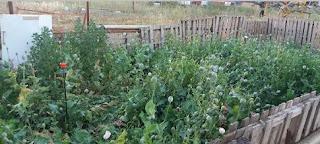 Αυτή είναι η φυτεία με το όπιο στην Βοιωτία - Την καλλιεργούσαν Ινδοί