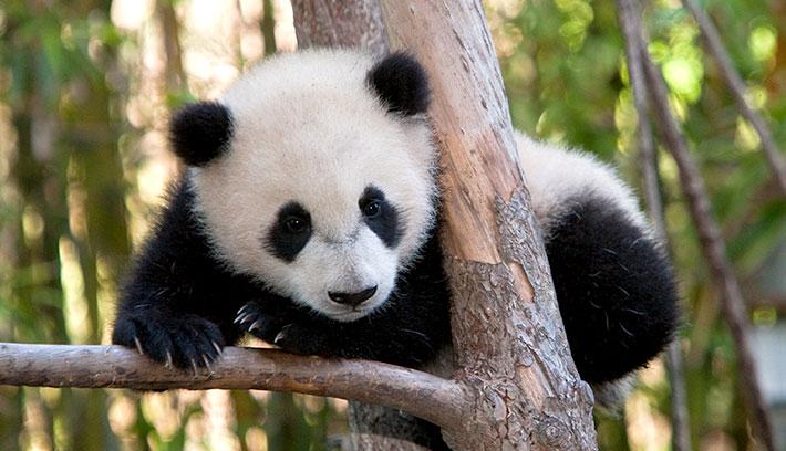 木の上に登った赤ちゃんパンダ