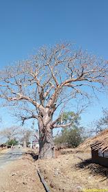 Baobab Trees, Mandu