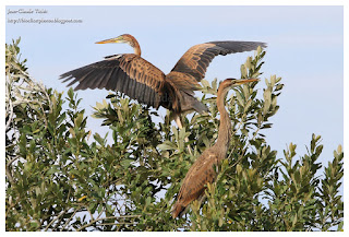 https://bioclicetphotos.blogspot.fr/search/label/H%C3%A9ron%20pourpr%C3%A9%20-%20Ardea%20purpurea