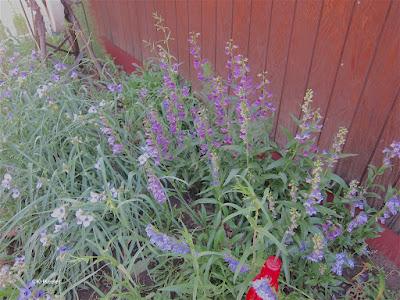 spiderwort, Tradescantia and beardtongue, Penstemon