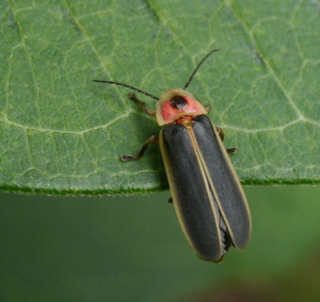 firefly lightning bug on leaf during the day