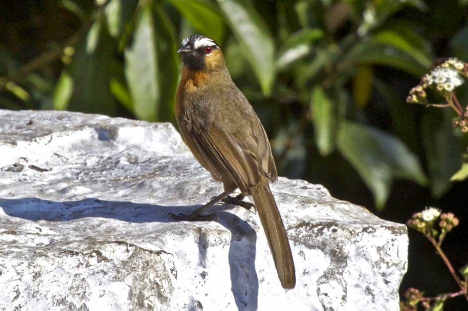 Black-chinned Laughingthrush