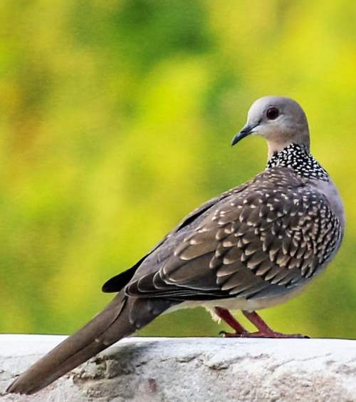 Indian birds - Image of Eastern spotted dove - Spilopelia chinensis