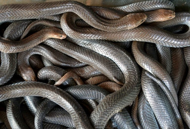 Man with bare hands kill a snake inside busy commuter train -  Photos